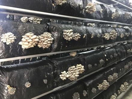 Beykoz'da ne kadar istiridye mantarı üretildi?