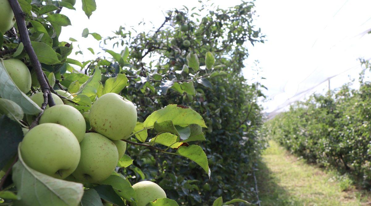 Amasyalıları tedirgin eden gelişme: Beykoz Elması
