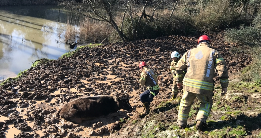 Beykoz'da çamura saplanan inek kurtarıldı